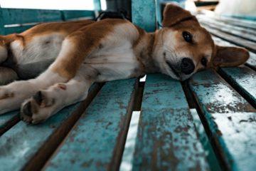 Dog Heatstroke